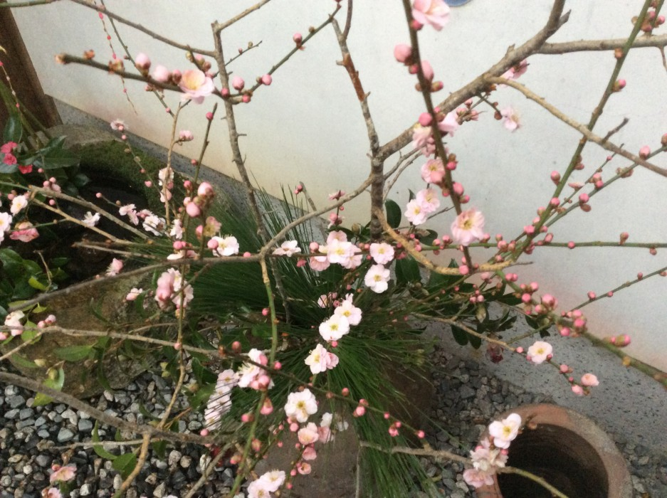 マンリン梅の花